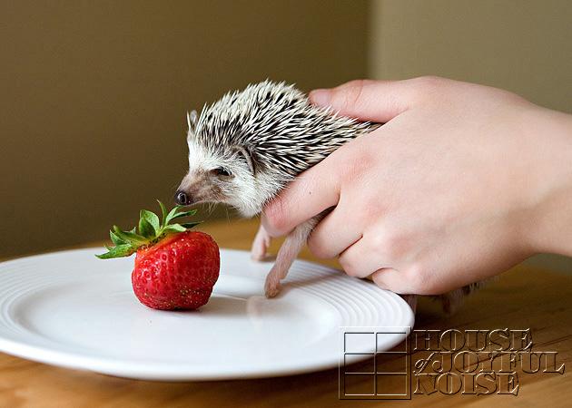 11_hedgehog_strawberry