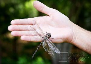 huge-dragonfly-2