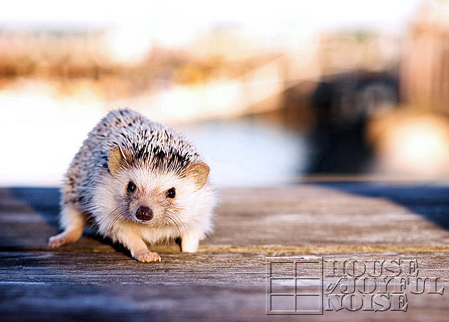 04_hedgehog