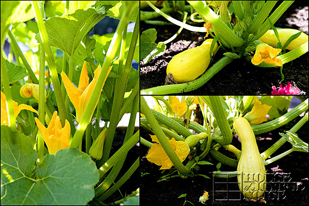 18_summer-squash-photos