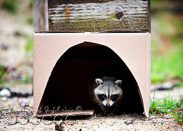 baby-raccoon-study-homeschooling-13