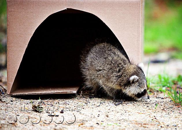 baby-raccoon-study-homeschooling-14