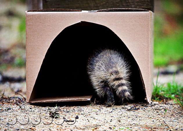 baby-raccoon-study-homeschooling-15
