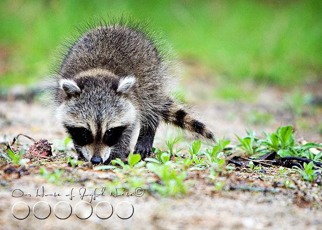 baby-raccoon-study-homeschooling-16