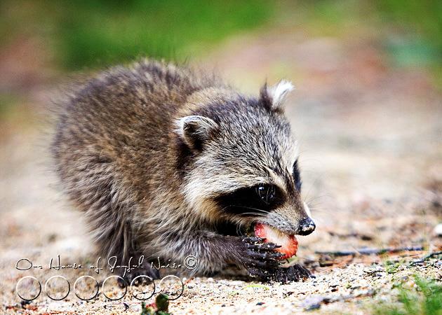 baby-raccoon-study-homeschooling-4