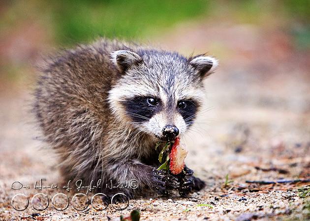 baby-raccoon-study-homeschooling-5