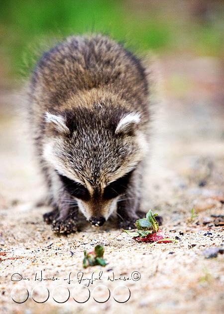 baby-raccoon-study-homeschooling-6