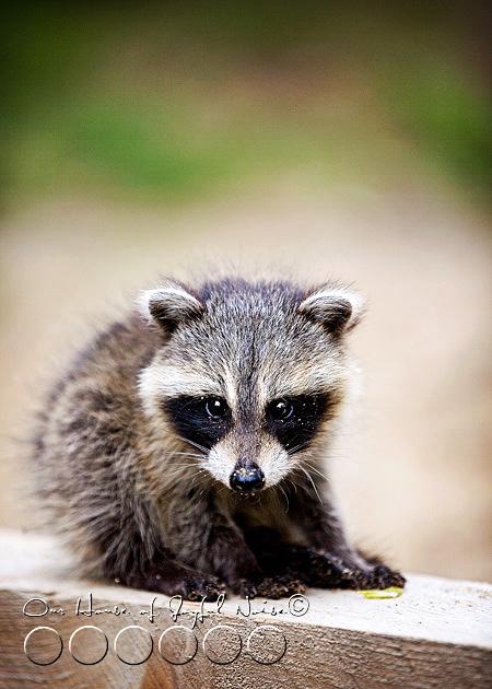 baby-raccoon-study-homeschooling-8
