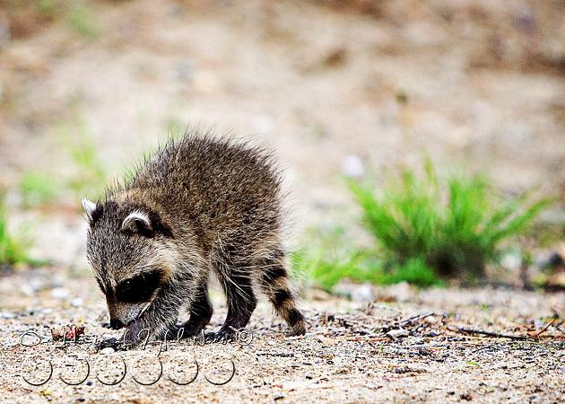 baby-raccoon-study-homeschooling