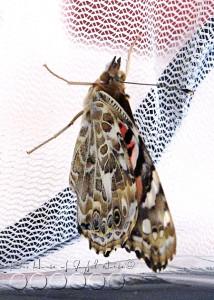 metamorphosis-butterflies-study-homeschoolig-10