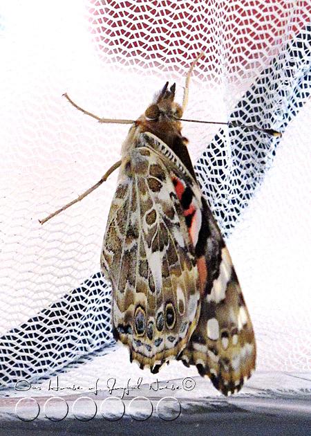 metamorphosis-butterflies-study-homeschoolig-9