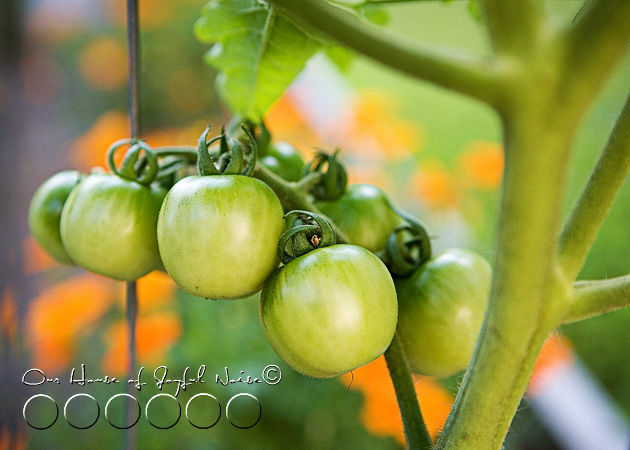 007_cherry-tomatoes-on-vine