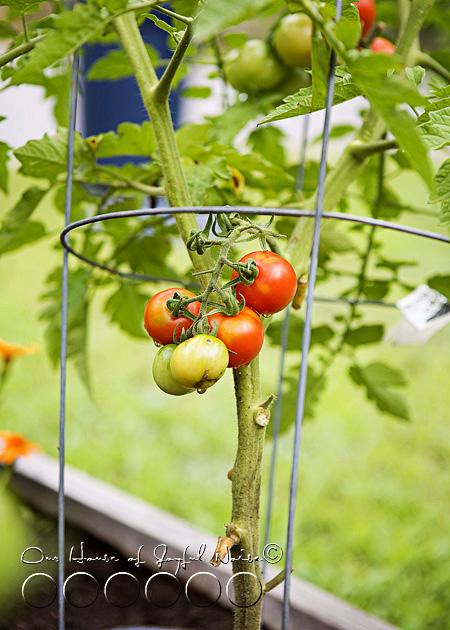 010_cherry-tomatoes-gardening