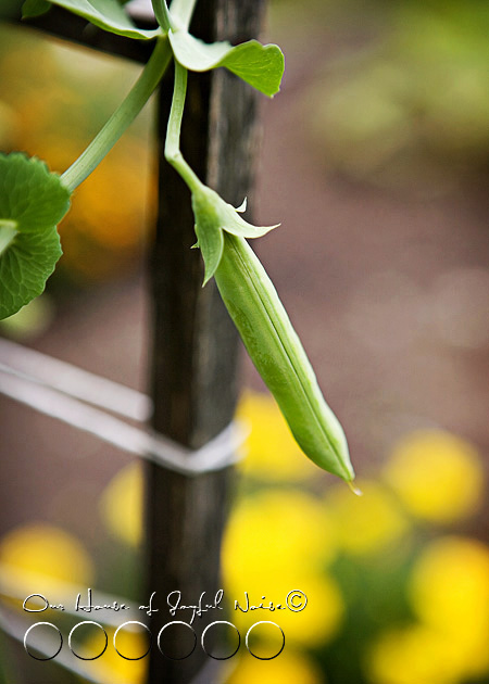 016_sugar-snap-pea