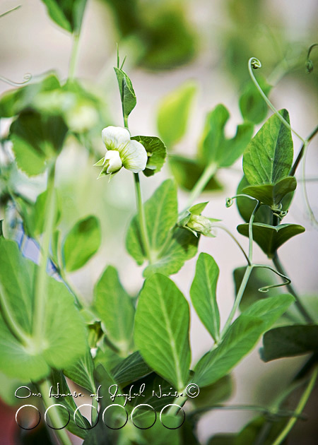 017_sugar-snap-pea-flower