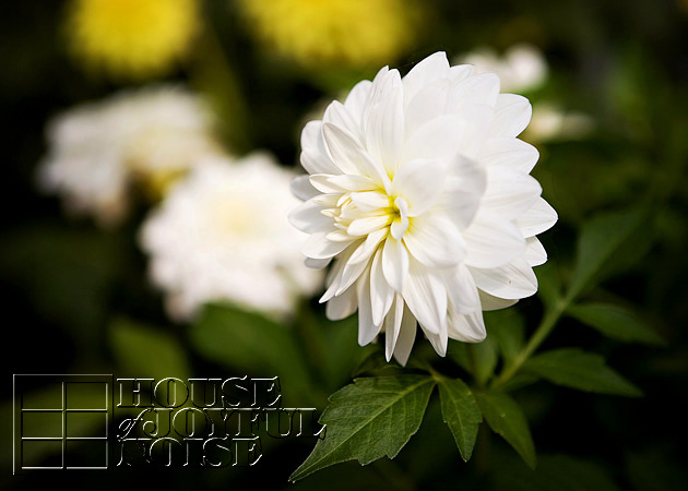 005_chrysanthemum-flowers