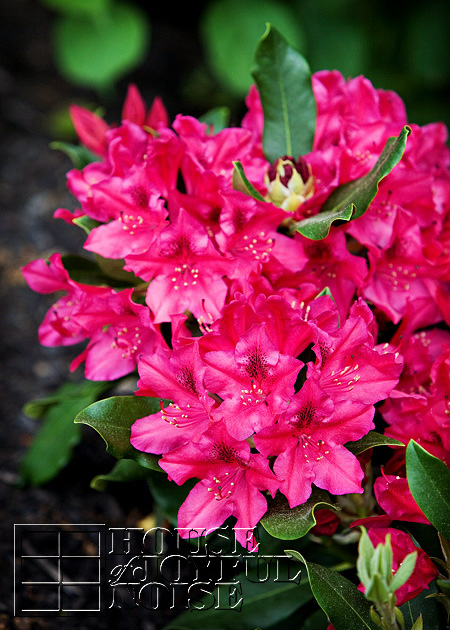 007_azaleias-flowering-bush