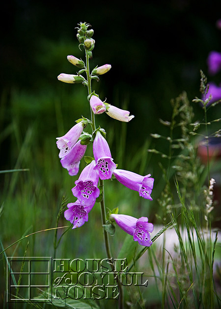 008_foxglove-flowers