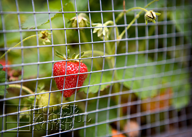 lessons-learned-growing-strawberries-1