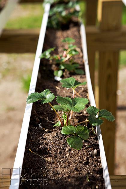 Strawberry Planting In Rain Gutters