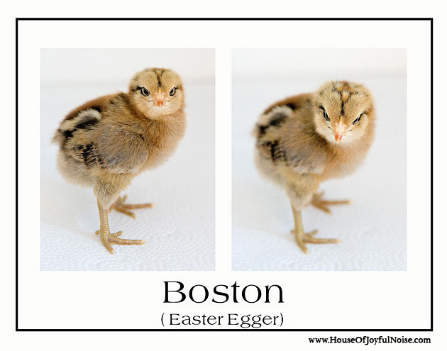 variety of chick chicken breeds photos