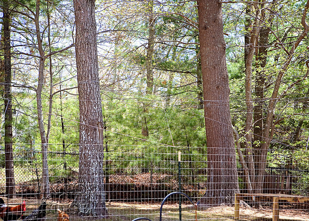 Deterring Flying Predators from Our Chickens |