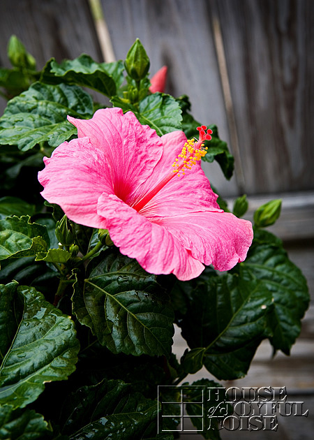 Tropical Hibiscus bloom